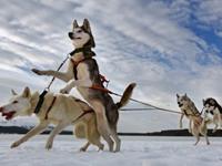Зимний тур по Карелии на собачьих упряжках